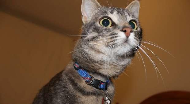 Tom huésped en casa con otros gatos