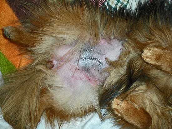herida de una perra esterilizada