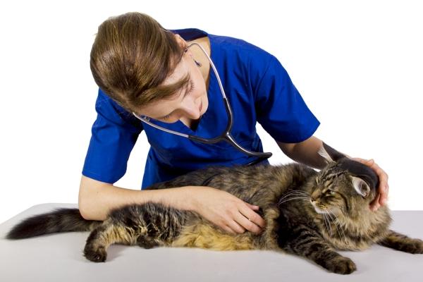 Veterinario auscultando un gato