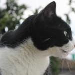 Gato Naranjito de perfil