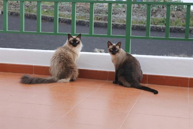 Gatas siamesas en la terraza