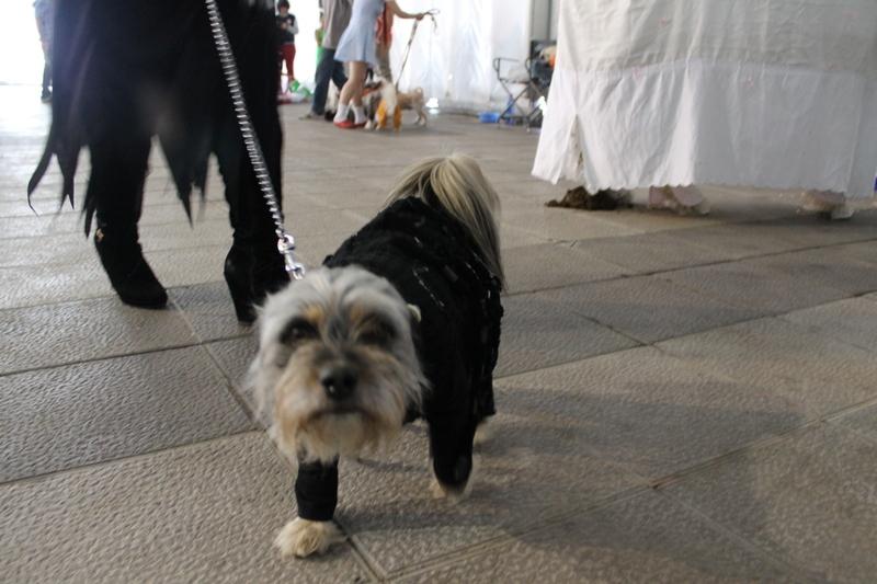 Perro disfrazado Araña