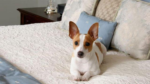 Perro en cama de hotel