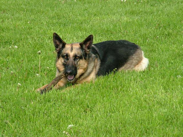 Perro pastor alemán