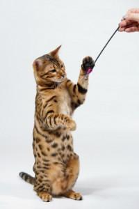 Gato Bengal jugado con pescador